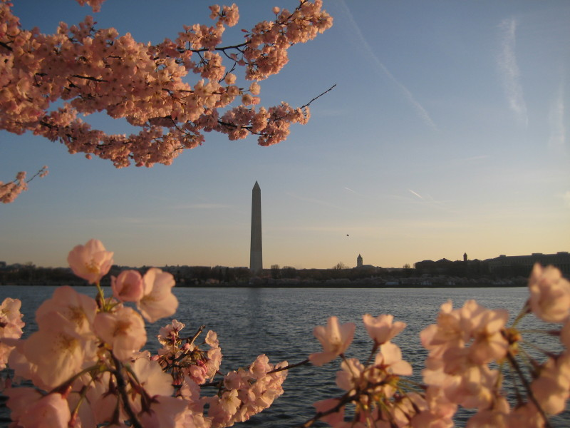 cherry-blossoms-dc