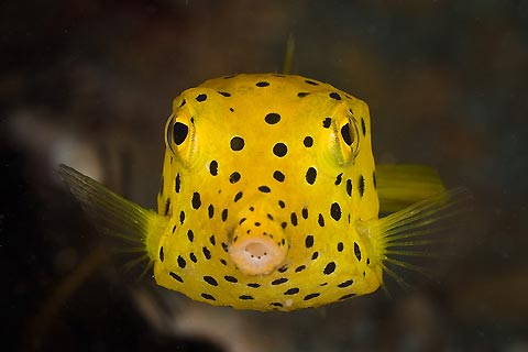 Yellow Spotted Boxfish , admired and not eaten here ? So much to see ...