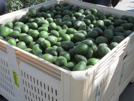 Avocados 075