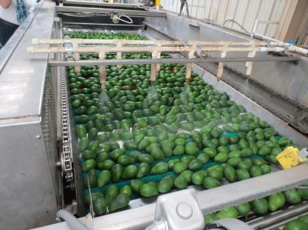 Avocados 124
