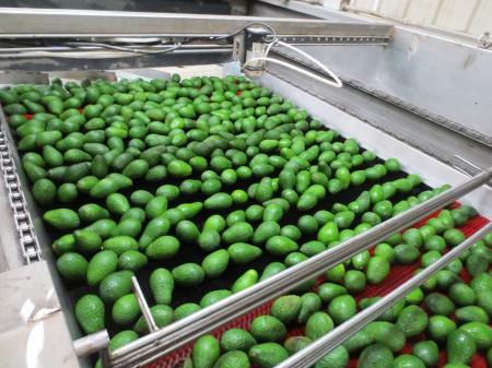 Avocados 126