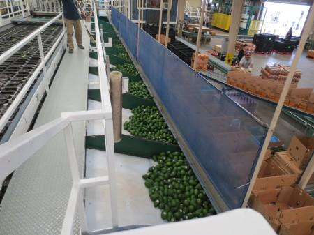Avocados 142