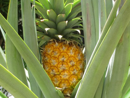 Pineapple 001