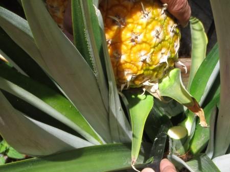 Pineapple 006