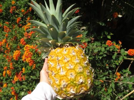 Pineapple 011